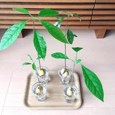 種 水栽培 アボカド